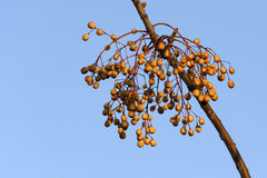 Träd för vitt cederträ Royaltyfria Bilder