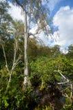 Träd Florida för skallig cypress i ett sötvattens- träsk arkivfoto