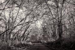 Träd-fodrad väg som är svartvit, landskap Royaltyfri Fotografi