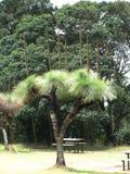 Träd gömma i handflatan Australien Royaltyfria Foton