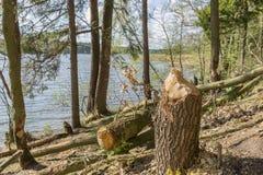 Träd gnagde bäver Royaltyfri Foto