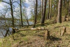 Träd gnagde bäver Royaltyfri Fotografi