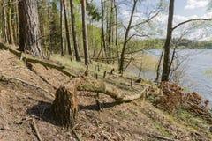 Träd gnagde bäver Fotografering för Bildbyråer