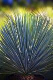 Träd i agavefamiljen Arkivfoto