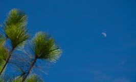 Träd i blå himmel med månen Arkivbild