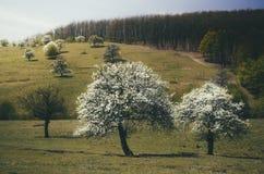 Träd i blom med vita blommor i vår royaltyfri bild