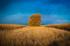Träd i cornfielden Arkivbild