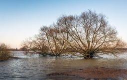 Träd i de översvämmade flodslättarna av en holländsk flod Arkivbild