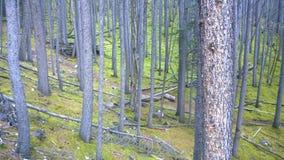 Träd i den mossiga skogen, Banff nationalpark, Kanada Arkivfoto