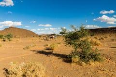 Träd i den Sahara öknen Arkivfoton