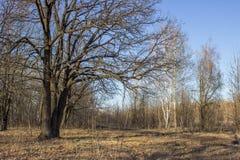 Träd i den tidiga våren på en solig dag royaltyfri bild