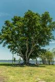 Träd i Edison och Ford Winter Estates Park i Fort Myers, Florida Arkivbild