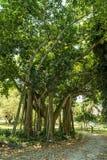 Träd i Edison och Ford Winter Estates Park i Fort Myers, Florida Royaltyfri Fotografi