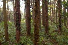 Träd i en skog i Japan arkivfoto