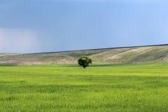 Träd i ett fält Royaltyfri Foto