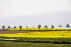 Träd i ett fält för lös senap royaltyfri foto
