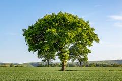 Träd i ett fält i Sussex Royaltyfri Foto