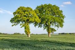 Träd i ett fält, i Sussex Royaltyfri Foto