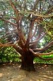 Träd i form av en bläckfisk Royaltyfri Fotografi