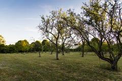 Träd i fruktträdgård med eftermiddagljus Royaltyfria Foton