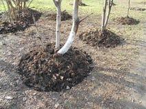 Träd i grävde rabatter Royaltyfria Foton
