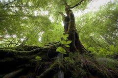 Träd i grön djungel Arkivfoton