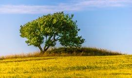 Träd i gult fält Arkivfoto