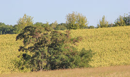 Träd i gult fält Arkivbilder