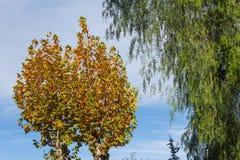 Träd i höst med gula sidor royaltyfria bilder