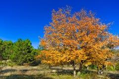 Träd i höstskog Arkivbild