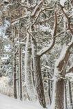 Träd i insnöade Skottland Royaltyfri Bild