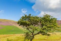 Träd i Latrigg som förbiser Keswick och Derwent vatten, Cumbria, Arkivfoton