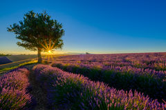Träd i lavendelfält på solnedgången royaltyfri bild