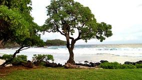 Träd i Maui Arkivfoton