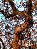 Träd i min mammagård Arkivbild