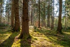 Träd i Perlacheren Forst royaltyfri bild