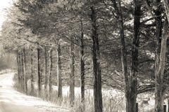 Träd i rad uppställda i vintersnö Royaltyfri Foto