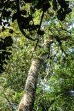 Träd i rainforesten Fotografering för Bildbyråer