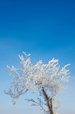 Träd i rimfrost Arkivfoto