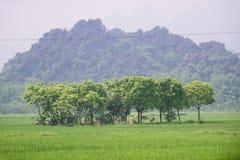 Träd i risfält, Vietnam Royaltyfri Bild