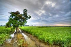 Träd i risfältfält Arkivbilder