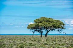 Träd i savannahen, klassisk afrikansk landskapbild royaltyfri bild