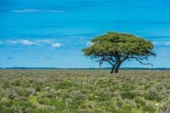 Träd i savannahen, klassiskt afrikanskt landskap royaltyfria foton