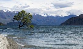 Träd i sjön Wanaka Fotografering för Bildbyråer