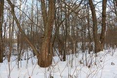 Träd i skogans-snö omkring Fotografering för Bildbyråer