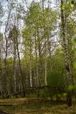 Träd i skogen som är fullvuxen på ett brutet träd royaltyfri foto