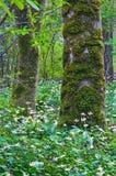 Träd i skogen som omges av en äng av Fawn Lily, blommar Royaltyfri Foto