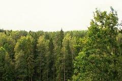 Träd i sommarskog Fotografering för Bildbyråer