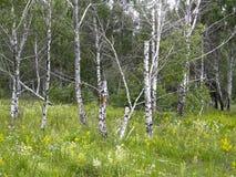Träd i sommarskogen Arkivfoton