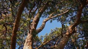 Träd i stark vind på solig dag stock video